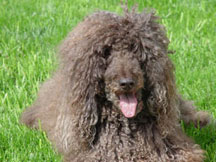 Chaucer the Standard Poodle